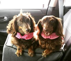 snickers-and-midgee-in-car